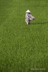 Vietnam (Rolandito.) Tags: vietnam asia hoi an green rice field person farmer hat south east southeast