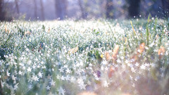 ... morning sparkle ... (jane64pics) Tags: 52weeksof2017 week13 createyourownbokehshape bokeh stars starry light sparkle sparkles morningsparkle earlymorning dew grass naturallight janefriel janefriel2017 greystonescameraclub gcc green greenery sunlight explored