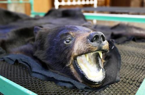 Full Size Bear Rug with Head ($560.00)