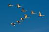 Tundra Swans (tomcanon68) Tags: canon40d canon middlecreek middlecreekwildliffemanagementarea bird tundraswan formation