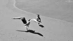 Birds - Dubai Marina, UAE (kadryskory) Tags: kadryskory dubai marinabeach sand beach birds sea coastline animal uae bw blackwhite blackandwhite canon water