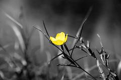 yellow flower 🌼 (Greg M Rohan) Tags: yellowpetals plant spotcolour nikon nikkor stpeters nature sydneypark macro d7200 2017 photography flower yellow flowers garden