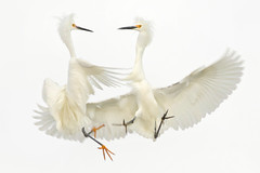Fight (bmse) Tags: snowy egrets fight aggressive behavior orange county canon 7d2 400mm f56 l bmse salah baazizi wingsinmotion