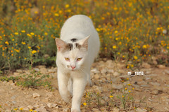 The cat and the Yellow flowers (rama_77) Tags: vv