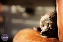 11|52 weeks of Blue - Basking (sgv cats and dogs) Tags: 52weeksfordogs chihuahua blue rescue sleeping sun basking rest chair leather shadow hing like warm sunny spot winter so very sweet