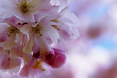 sea of blossoms (nelesch14) Tags: blossom blossoming cherryblossom spring sunshine light pink flower macro nature sky