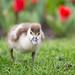 2017-03-19-13h45m36.BL7R0391 (A.J. Haverkamp) Tags: canonef100400mmf4556lisiiusmlens amsterdam noordholland netherlands zoo dierentuin httpwwwartisnl artis thenetherlands nijlgans egyptiangoose nl