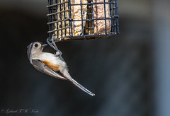 Dine Before Returning (Gabriel FW Koch) Tags: animal bird birdfeeder songbird tuftedtitmouse outdoor outside garden dinner telephoto canon bokeh eos dof wow sun spring sunlight naturallight naturephotograph