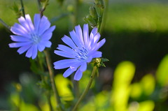 Beautiful blue flower (kreiZee) Tags: park bridge flowers blue autumn food house flower bird heritage fall nature grass yellow garden jumping opera university purple heart harbour sydney royal victoria botanic quadrangle wolonora