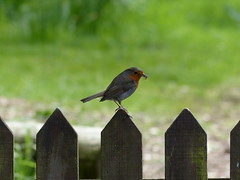 A little robin (mcmillan_ra) Tags: robin gardens clarkston greenbank