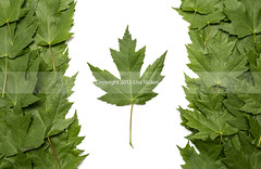 2013:365:142 (Lisa-S) Tags: ontario canada green leaves maple lisas 365 onwhite brampton day142 canadaflag 7649 day142365 3652013 365the2013edition copyright2013lisastokes 22may13