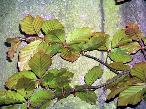 COMMON BEECH (Fagus-sylvatica)