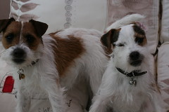 Dave and Dora (made by maxine) Tags: dog cute dave dora jackrussell parsonrussellterrier