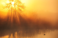 Golden rays of light over the mystic pond (VictorLiu Photography) Tags: light canada tree calgary water fog golden duck pond alberta