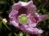 amapola rosa (jacilluch) Tags: pink flower macro fleur flor blossoms rosa poppy rosella silvestre coquelicot papaver papaversomniferum poppys amapola papavero cornpoppy papoula adormidera ababol mitxoleta papuel