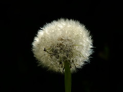 Fluff Ball..... (wivvy) Tags: flower nature garden flora dandelion seedhead wildflowers xs1