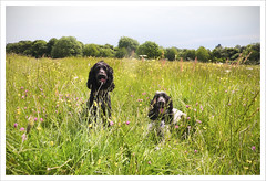 Merry Meadow Mutts (Photo Gal 2009) Tags: show blue summer dog white black green field grass fauna bristol flora otis buttercup space working meadow canine blackdog mutts type spaniel wildflowers merry cocker clover cockerspaniel dogrun roan dogwalk englishcocker bazil ashtoncourt flowerfield blueroan englishcockerspaniel meadowflowers 2013 britishwildflowers englishmeadow flowermeadow bristolpark workingcocker restingdogs ashtoncourtestate bristolcitycouncil dogblack englishwildflowers blackandwhitecockerspaniel blueroancockerspaniel britishmeadow bristolgreenspace cockerboy cockerblack cockerworking meadow2013 merrymeadowmutts showtypecocker englishshowtypecocker