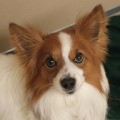 Sammy(1) (Mary022378) Tags: dogs puppies naperville adopt adoptpetshelter