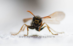 Vespa 1 (Davide Photo) Tags: macro nature canon insect vespa wasp natura bee ape 70300mm insetto 70300 canon1000d