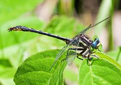 Lancet Clubtail (Gomphus exilis) (monon738) Tags: macro nature closeup bug insect wings pentax dragonfly wildlife indiana 300mm k5 clubtail odonata gomphus gomphidae lancetclubtail gomphusexilis lagrangecounty smcpda300mmf40edifsdm clubtaildragonfly pigeonriverfishandwildlifearea