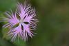 Dianthus superbus (Tōn) Tags: california flower macro nature berkeley unitedstates botanicalgarden dianthussuperbus ucbotanicalgardenatberkeley tonyvanlecom