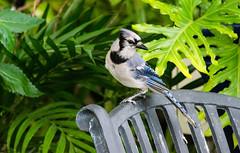 DSC_4946_edited-1.jpg (Stormpeak_1) Tags: cardinal bluejay sigma120400mm