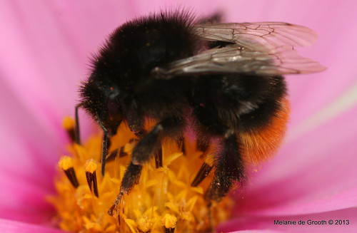 Bumble Bee on Cosmos