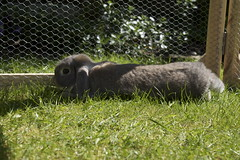 Jazz in the garden (roweec) Tags: rabbit garden lop flopped