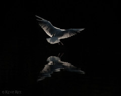 Night Landings (Grains of Rice) Tags: reflection water canal seagull gull feathers feather blackheadedgull manchestershipcanal