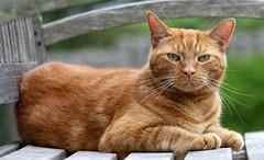 Mack update (Kerri Lee Smith) Tags: cat kitty tabby feline mack red orange ginger wound injury pet animal summer bench whiskers eyes greeneyes face freckles explored explore