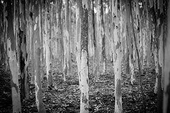 trees that talk (peppershot) Tags: trees light blackandwhite forest landscape bokeh bark