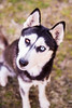 Banzai (Gertrude139) Tags: blackandwhite dog husky siberianhusky sibe bieyed partieye arcticbreedrescue