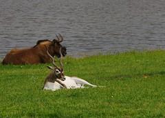 Polar Opposite Creations (DGS Photography) Tags: animal mammal zoo diverse horns curly antelope spike opposites arkansas gentry wildlifedrivethroughsafari