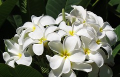 Plumeria - white (Larry Myhre) Tags: white flower hawaii plumeria maui frangipani hawaiiaug2013