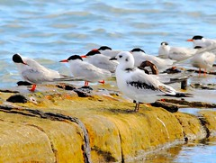 Kittiwake And Terns Chanory Point (Now flying with the angels xx) Tags: beautiful 1 la calendar photos earth ngc vida level and viva greatphotographers photosandcalendar flickrsportal
