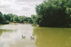 they later chased me (lizzie ) Tags: lake film water geese pentax