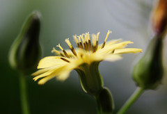Flower & buds