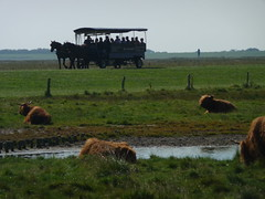 Langeoog, Highland cattle and 2 HP taxi (Alta alatis patent) Tags: horses germany wadden langeoog schotsehooglanders waddenislands scottishhighlanders heckrunderen