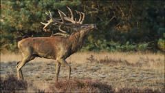 De bronst van de Edelherten. (Rene kooijman photografie) Tags: animals bos reddeer heide hogeveluwe rutting zoogdieren burlen edelherten bronst renekooijman
