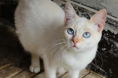 Gatinho (TioJF2) Tags: blue pet white animal branco azul cat farm gato bigode felino mustache animais bicho azuis bigodes brancos