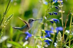 (DigitalCanvas72) Tags: colors hummingbird hollow baiting vrnikon 55300mm wildlifebirdflightnaturebaiting sanctuarytelephotonikkor d3100dslrvivid