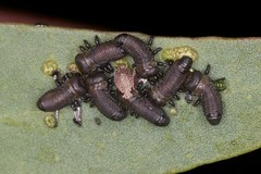 First instar leaf beetle larvae (zosterops) Tags: macro australia tasmania hobart ringflash coleoptera chrysomelidae insecta kenkoextensiontubes knockloftyreserve canonmr14ex canonmacrolensef100mm canoneos550d paropisiterna