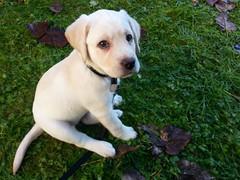Gracie sitting in the grass (walneylad) Tags: autumn dog pet cute puppy gracie lab labrador canine labradorretriever