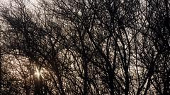 Nebelwelten, an einem November-Morgen in Brunsholm; Bergenhusen, Stapelholm (25) (Chironius) Tags: stapelholm bergenhusen schleswigholstein deutschland germany allemagne alemania germania   ogie pomie szlezwigholsztyn niemcy pomienie morgendmmerung morgengrauen  morgen morning dawn matin aube mattina alba ochtend dageraad  amanecer morgens dmmerung nebel gegenlicht schlehdorn prunusspinosa schlehe blackthorn sloe   prunelle prugnola abrunho yabanerii sleedoorn slnbr endrino  fog brouillard niebla rosids fabids rosales rosenartige rosaceae rosengewchse rosoideae spriraeoideae steinobstgewchse prunus amygdaleae landschaft