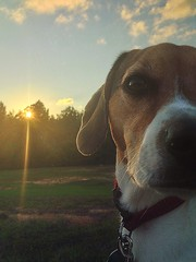 Little Furry Monster (marybethdodd15) Tags: sunset orange dog pet brown sun white black reflection beagle yellow mississippi outdoors nose friend bright walk hunting trails down best whiskers bark sniff pinelakechurch