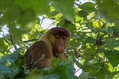 Bako National Park#4 (Florian Lebrun | Photographie) Tags: vert sarawak malaysia borneo monkeys kuching proboscis nasique bakonationalpark