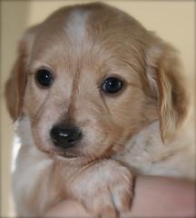IMG_2293 (Pedro Montesinos Nieto) Tags: dog perro cachorros fragile mascotas miradas laedaddelainocencia frágiles