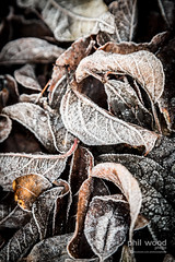 363:365:2013 - Some frost at last! (phil wood photo) Tags: morning white cold leaves early frozen frost december sunday 365 day363 project365 2013 29122013 colourchallenge 3652013