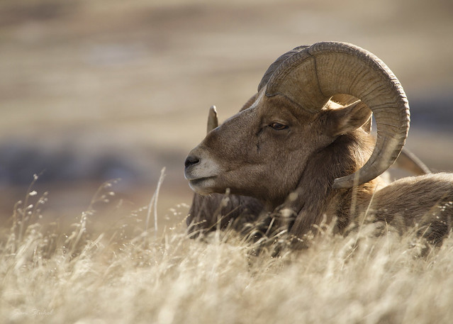 badlands bighorn ram badlandsnationalpark bighornsheep wildsheep