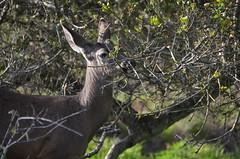 Asilomar deer 5 (afagen) Tags: california deer pacificgrove asilomar montereypeninsula asilomarconferencegrounds